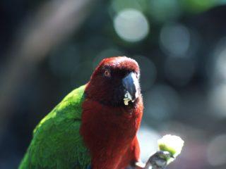 Parrot – Fiji