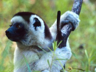 Cute Sifaka – Isalo Park, Madagascar