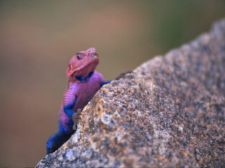 LSD Lizard – Serengeti, Tanzania