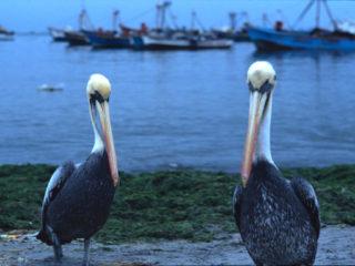 Pelicans – Ica, Peru