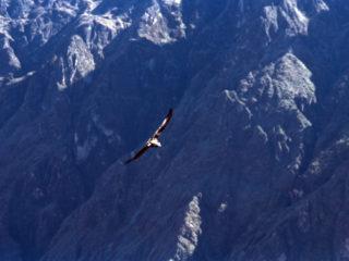 El Condor Pasa – Colca, Peru