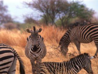 Zabras, Tarangire, Tanzania