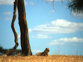 Lioness, Tarangire, Tanzania
