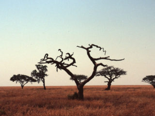 Thorn Trees – Serengeti, Tanzania