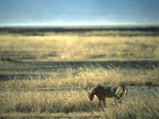 Cheetah, Ngorongoro, Tanzania