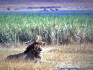 Tha King – Ngorongoro, Tanzania