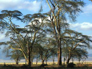 Trees 2 – Ngorongoro, Tanzania