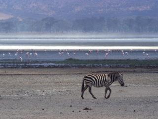 Zebra – Ngorongoro, Tanzania