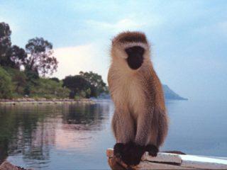Lost Monkey on Lake Kivu, Rwanda