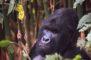 Humba Silverback Gorilla, 2014